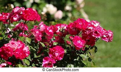 Rose - Beautiful red rose bush