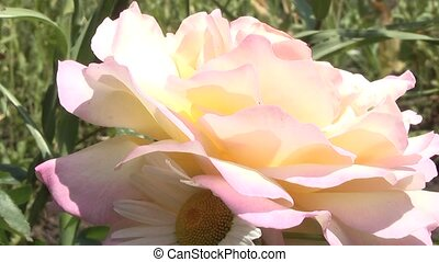 Rose, summer in the garden.