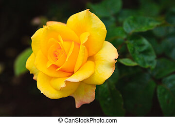 rose, sunflare, jaune