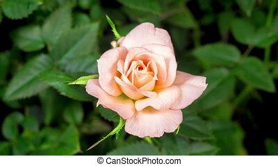 rose, temps, blanc, ouverture, défaillance