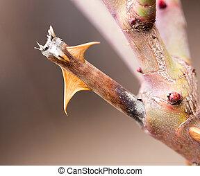 rose thorns. macro