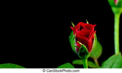 Rose Timelapse - Timelapse of a rose blooming.