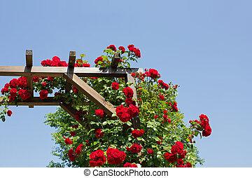 rose, tonnelle