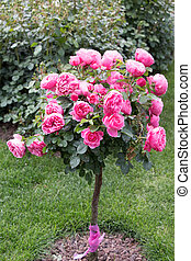 Rose tree with pink roses in a garden