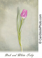 rose, tulipe, arrière-plan vert, textured, blanc