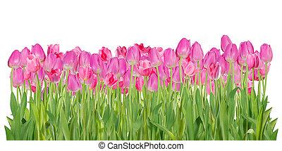 rose, tulipe, fleurs, isolé