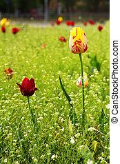 rose, tulipe, parc