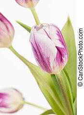 rose, tulipes, cadre, blanc, hermétiquement