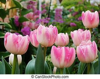rose, tulipes, jardin botanique