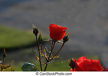 Rose under the summer sun