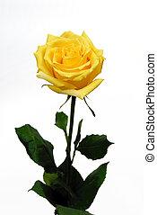 rose, unique, fond blanc, jaune