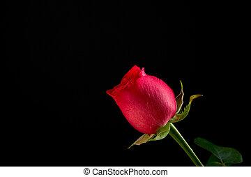 rose, unique, rouge noir, fond