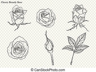 Rose vector set by hand drawing.