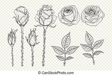 Rose vector set by hand drawing on transparent background