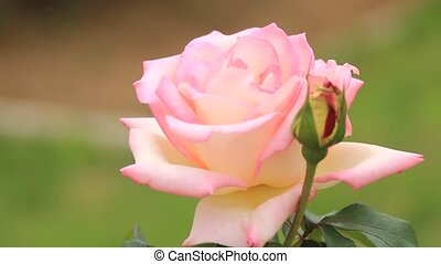 rose - I took the state that one rose shook for wind.