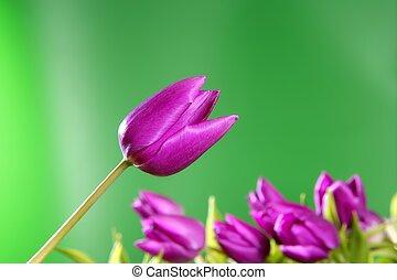 rose, vif, tulipes, arrière-plan vert, fleurs