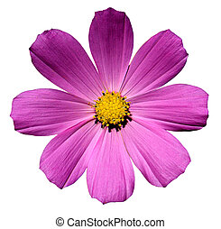 Rose violet flower Primula isolated on white