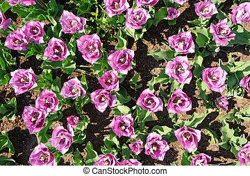 Rose-violet tulips shot from above, Keukenhof Gardens in Lisse, Netherlands