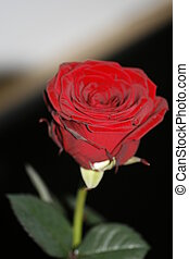 rose from above with leaves - Rose von oben mit Blaettern...