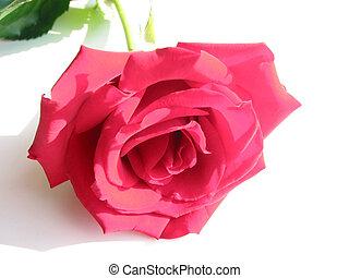 rose, weiß rot