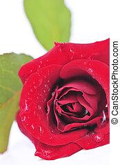 rose, weiße blume, roter hintergrund