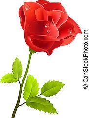 rose, weißes, freigestellt, hintergrund, rotes