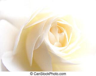 rose, weißes