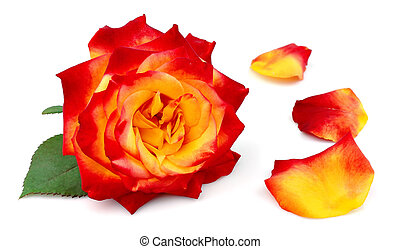 rose with petals