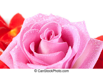 rose with red petals