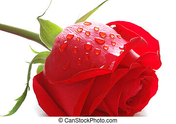 Rose with water drops isolated on white