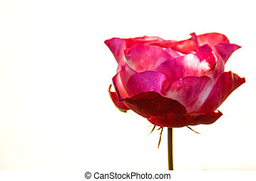 Rose with white background