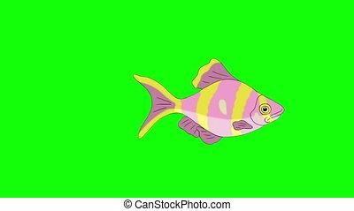 Rose-yellow striped Aquarium Fish Chroma Key looped - Big...