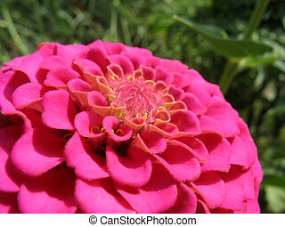 rose, zinnia, closeup