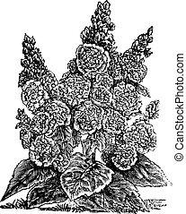 rosea, こびと, ダブル, タチアオイ, 型, ∥あるいは∥, alcea, engraving.