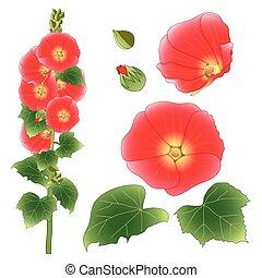 rosea, famille, alcea, roses trémières, -, malvaceae., illustration, color., arrière-plan., vecteur, aoi, mauve, isolé, orange, fleur blanche, rouges