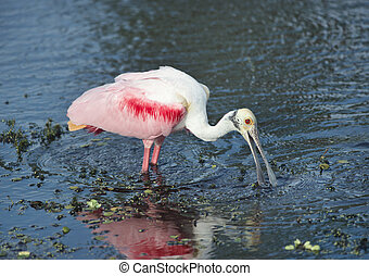 roseate, lac, spoonbill