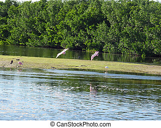 Roseate Spoonbill Ding Darling Wildlife Refuge Sanibel ...