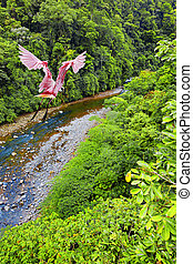 Roseate Spoonbill flying over the Costa Rican jungle
