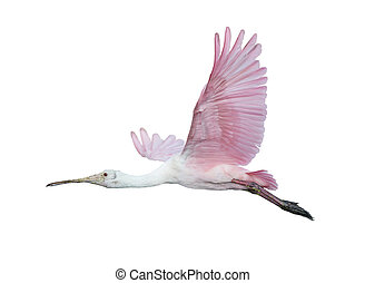 Roseate Spoonbill in flight isolated on white background