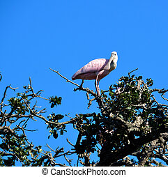 Roseate Spoonbill in the wild at St. Augustne, Florida, USA.