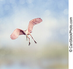 Roseate Spoonbill landing in Florida wetlands