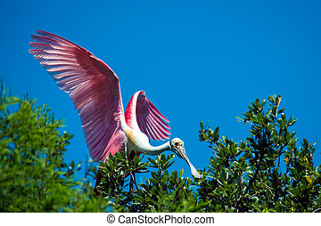 Roseate Spoonbill perched in a tree with open wings