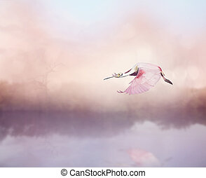 Roseate Spoonbill (Platalea ajaja) in Flight over lake