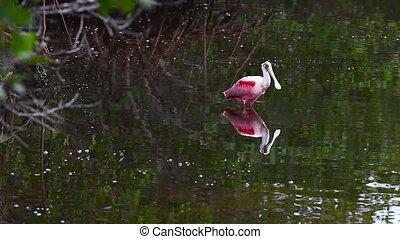 Roseate Spoonbill, Platalea ajaja, fishing in mangrove...