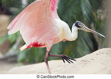 Roseate Spoonbill (Platalea ajaja) walking out of Water