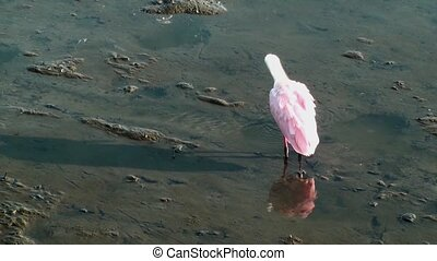 Roseate Spoonbill preening in the marsh