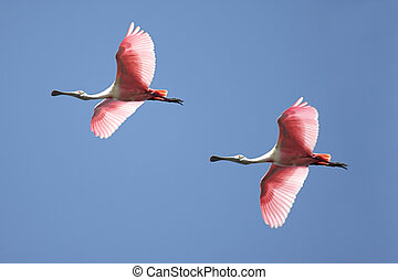 Roseate Spoonbills In Flight - Flock of Roseate Spoonbills (...