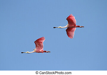 Roseate Spoonbills In Flight - Pair of Roseate Spoonbills (...