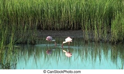 Roseate Spoonbills searching for food