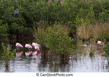 Roseate spoonhill in natural habitat on South Padre Island, ...